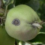 O parchu jabłoni